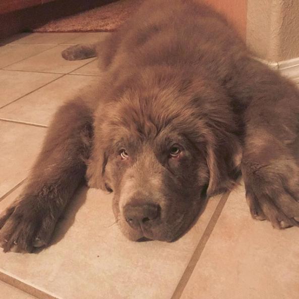 Grey Newfoundland Dog New Foundland