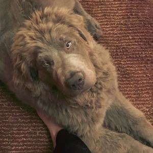 Grey Newfoundland Dog: