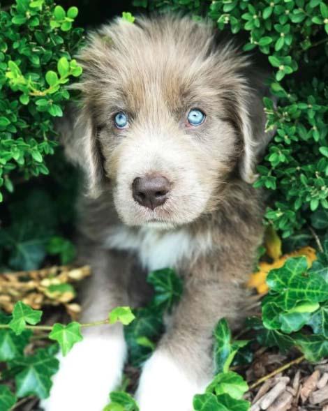 Grey Newfoundland Dog