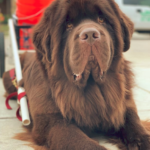 Brown Newfoundland Dog