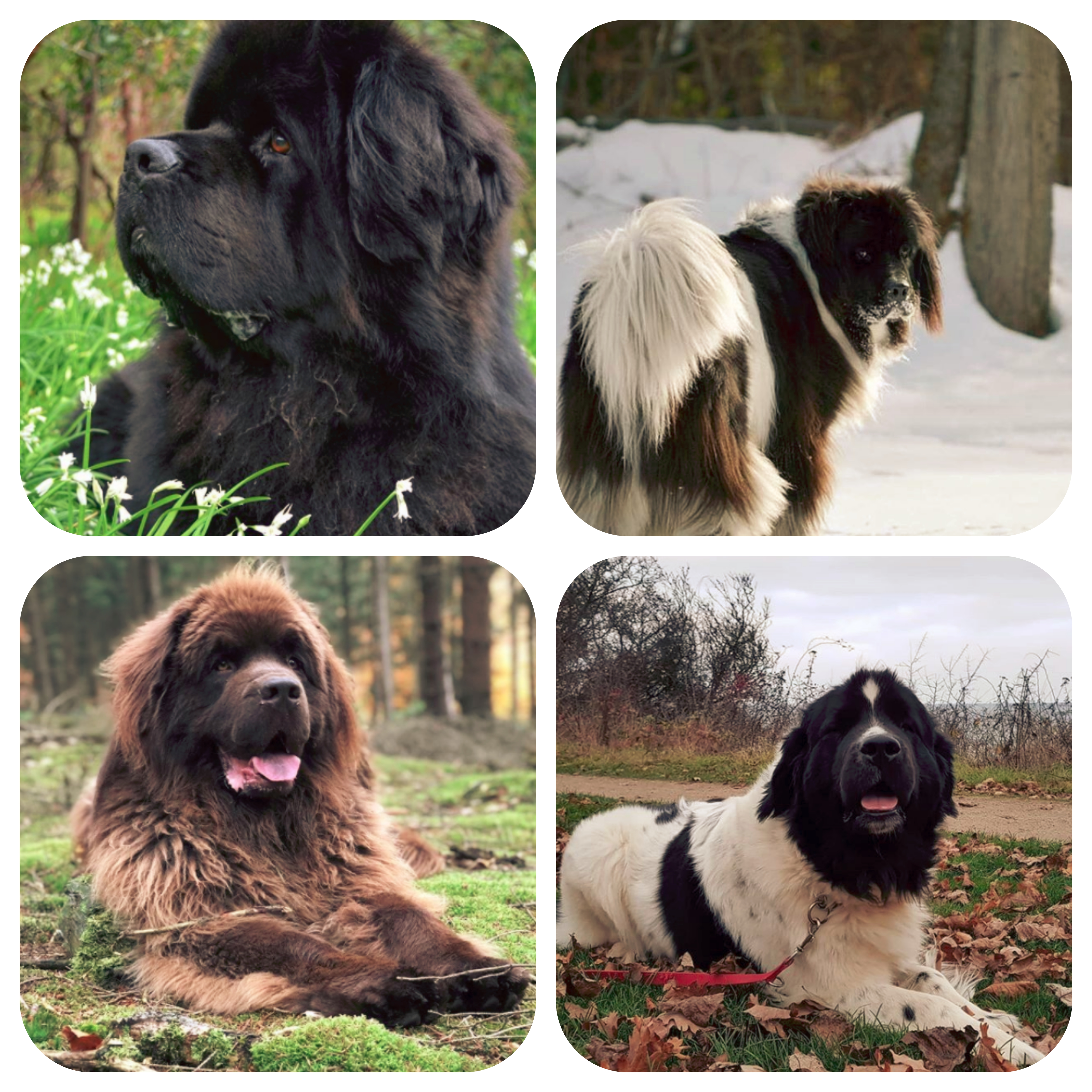 Newfoundland Dog Appearance