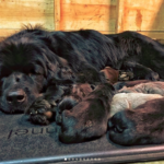 Newfoundland Dog Temperament