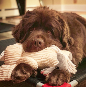 Newfoundland dog Teething and Chewing Issues