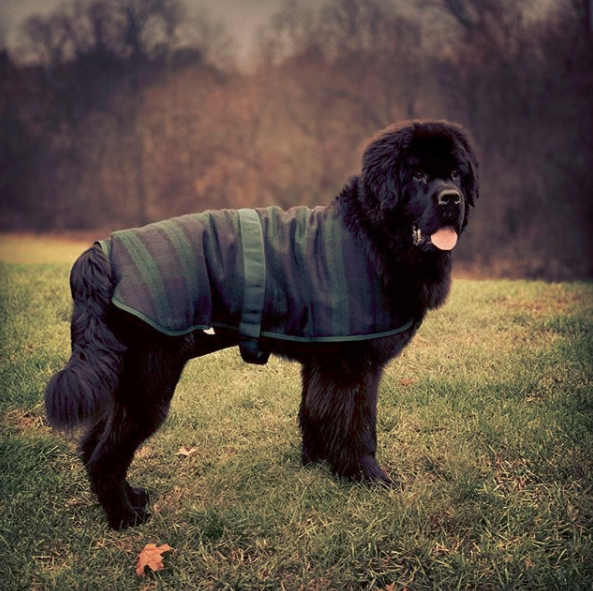 Newfoundland dog tail issues and care