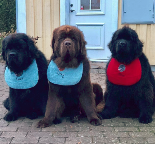 What is the Average Lifespan of a Newfoundland Dog