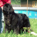 What is the Average Size of a Newfoundland Dog?