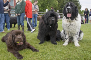 What is the Average Weight of a Newfoundland Dog
