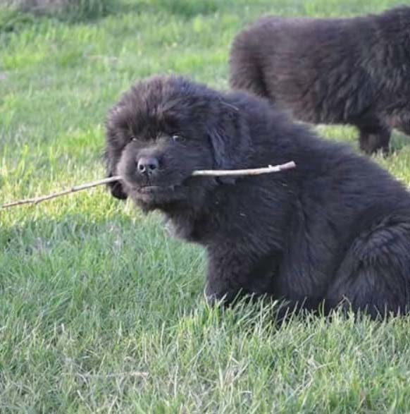 landseer newfoundland puppies