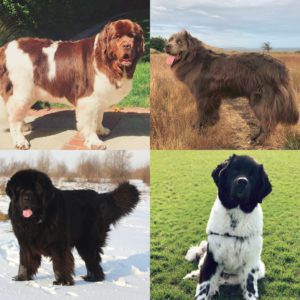 Newfoundland dog colors