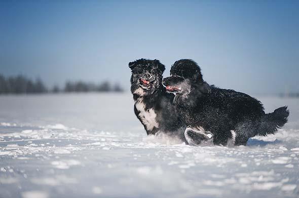 newfoundland dogs size