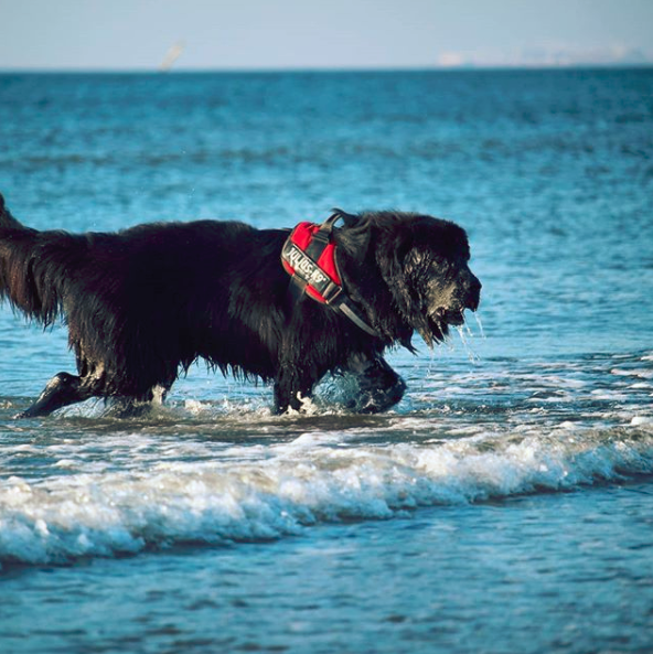 Cancer in Newfoundland Dog Symptoms and Cure