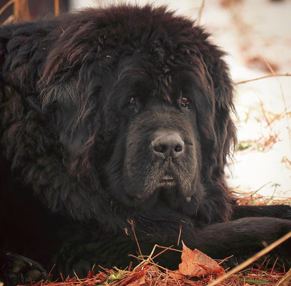 Common Allergies in Newfoundland dog