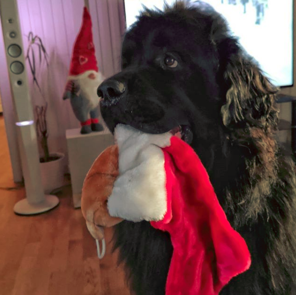 How do I stop my Newfoundland dog biting?