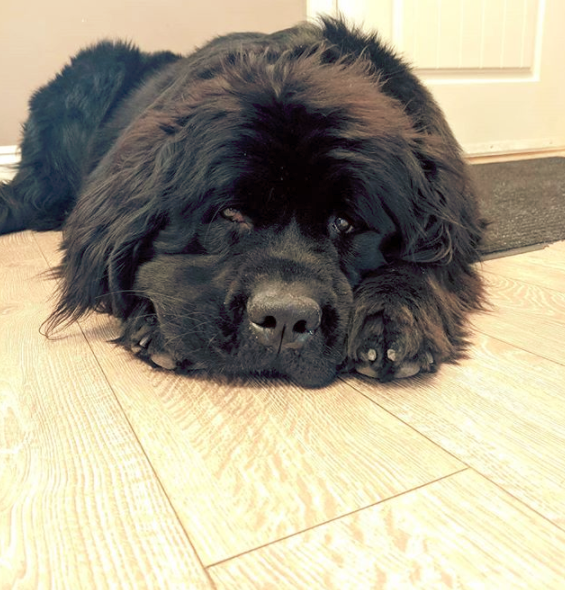 Newfoundland dog stomach issues