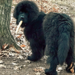 Signs Symptoms and treatment of Bloat in Newfoundland Dogs