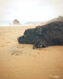 Newfoundland dog stomach issue