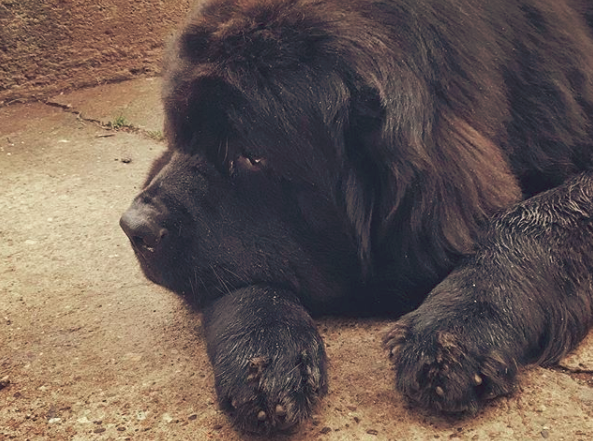 separation anxiety in Newfoundland dogs