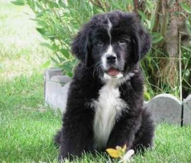 BERNEFIE DOG