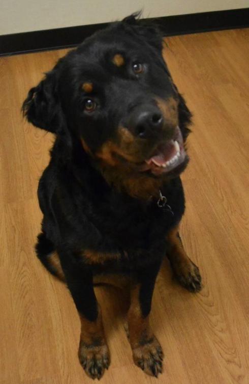 New Rottland dog