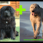 Newfoundland Irish Wolfhound mix