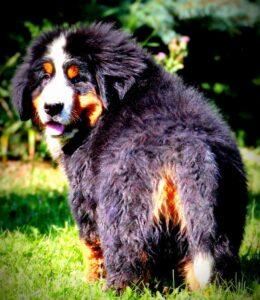 bernese mountain dog newfoundland mix puppies