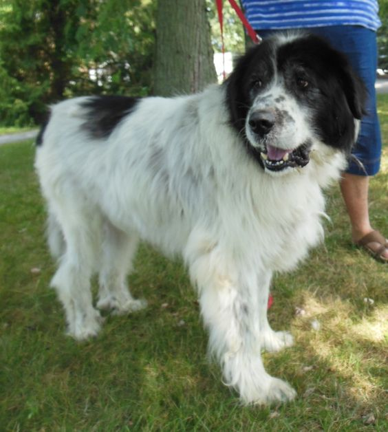 newfoundland and great pyrenees mix