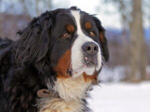 newfoundland dog bernese mountain dog mix