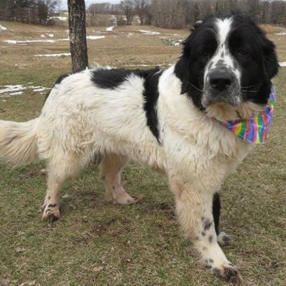 newfoundland great pyrenees mix puppies for sale