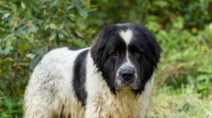 newfoundland saint bernard mix puppies for sale