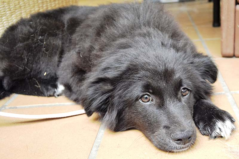 Newfoundland Border Collie Mix