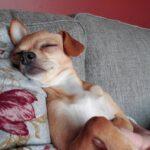 Newfoundland Chihuahua Mix