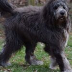Newfoundland Komondor Mix