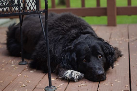 newfoundland collie mix