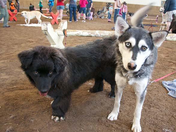 newfoundland dog mix